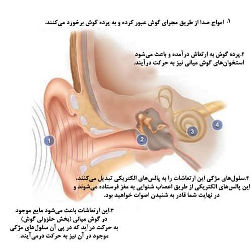 آناتومی گوش و چگونگی شنیدن اصوات